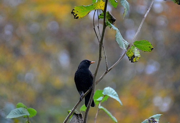 Blackbird Fowl Nature Countryside Bird Black Dark