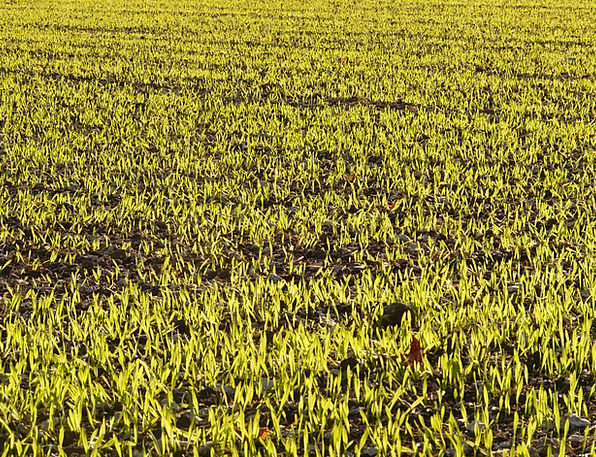 Winter Barley Seed Kernel Barley Agriculture Sowin