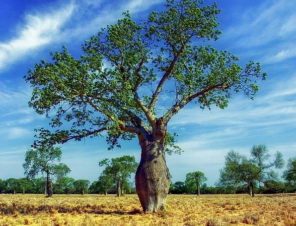 Ceiba Tree Landscapes Plants Nature Landscape Scen