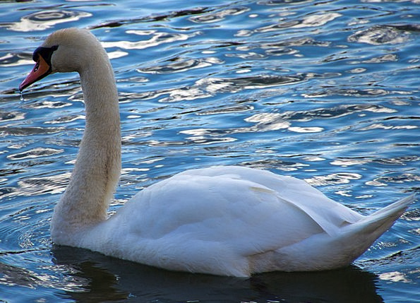 Swan Wander Water Aquatic Donald Waters Liquids Sp