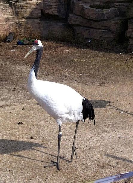 Crane Hoist Fowl Water Birds Bird Feather Quill Bl