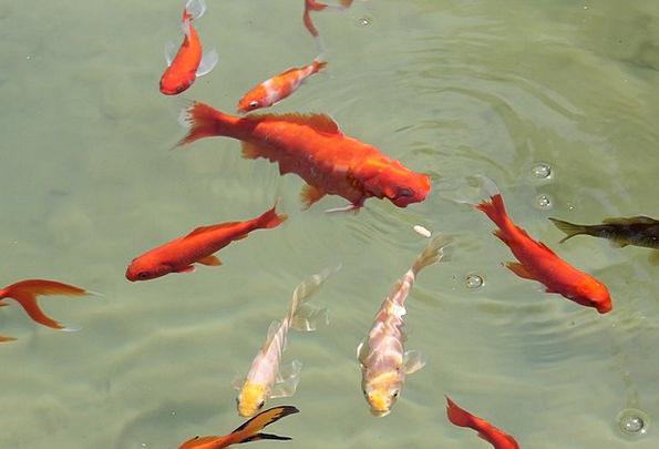 Fish Angle Pool Swim Dip Pond Water Aquatic Goldfi