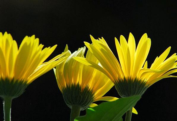 Gerbera Yellow Creamy Summer Flowers Flower Floret