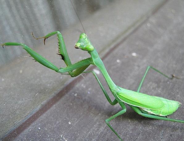 Preying Mantis Mantodea European Mantis Predator I