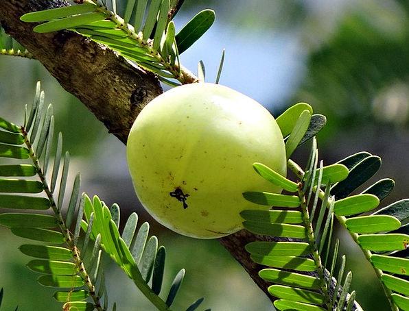 Indian Gooseberry, Drink, Food, Phyllanthus Emblica, Amla