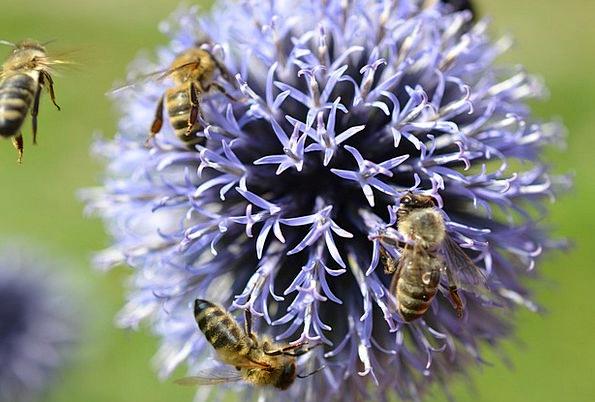 Bees Landscapes Floret Nature Purple Elaborate Flo