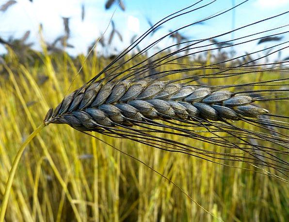 Emmer Landscapes Nature Cereal Muesli Urkorn Triti