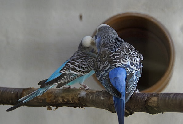 Budgerigars Pets Parakeets Affection Animal World