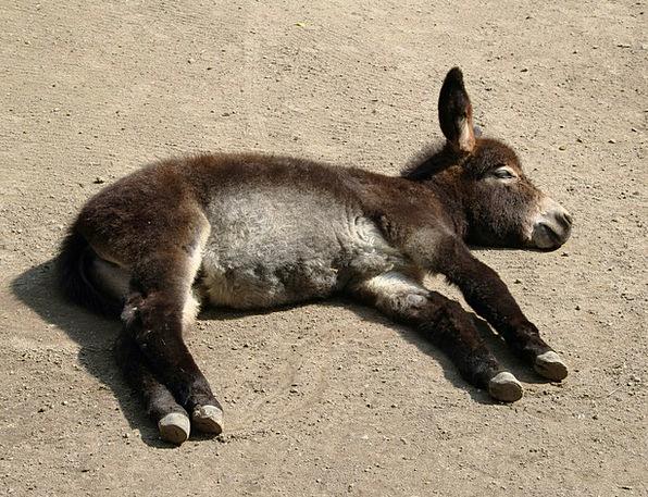 Donkey Concerns Anxieties Young Animal Sleep Slumb