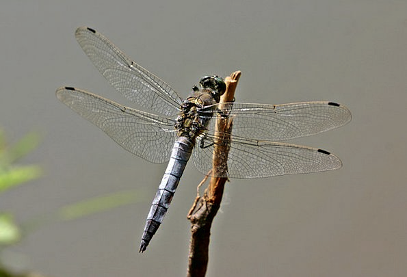Dragonfly Orthetrum Cancellatum Sailing Dragonfly