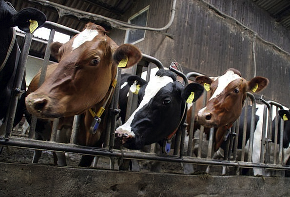 Cows Intimidates Drink Beef Food Cattle Feed Lives