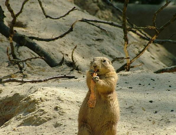 Groundhog Root Origin Marmota Monax Carrot Incenti