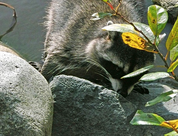 Raccoon Physical Wildlife Animal Water Aquatic Sta