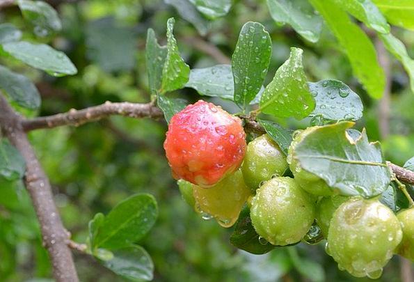 Frutas Drink Food Verde Acerola Brasil Azerola Fru
