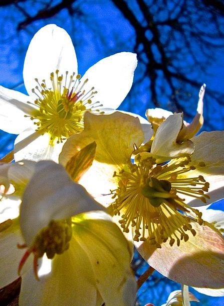 Easter Flowers Snowy Pistils White