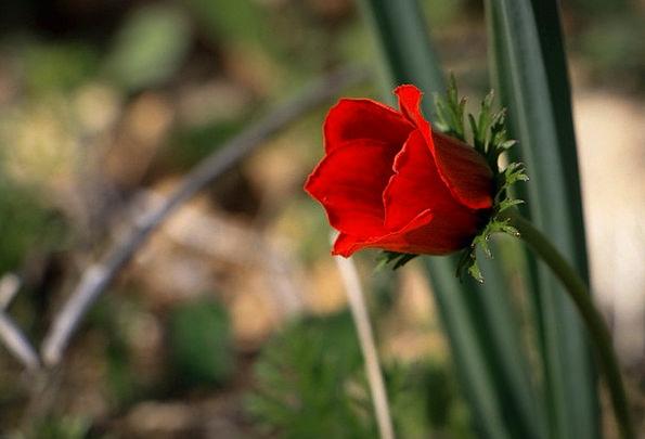 Flower Floret Single Solitary Red Flower Love Darl