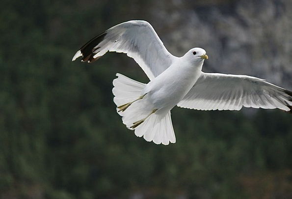 Seagull Fowl Flying Hovering Bird Wings Annexes
