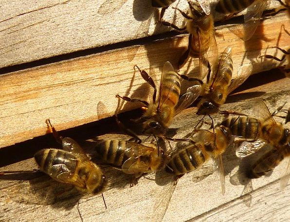 Bees Apis Mellifera Honey Bees Beehive Apiary Hive