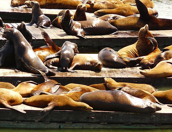 Crawl Skulk Seal Closure Seal Colony Sea Lion Anim
