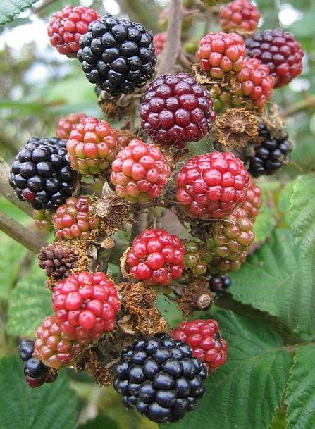Blackberries Drink Immature Food Fruit Ovary Unrip