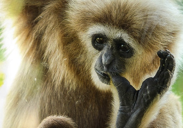Gibbon Archbishop Ape Chimpanzee Primate Species A
