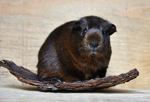 Gold Agouti Smooth Hair Guinea Pig Young Animal Ro