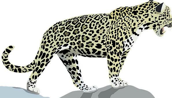 Jaguar Physical Cat Animal Fur Wild Rough Leopard