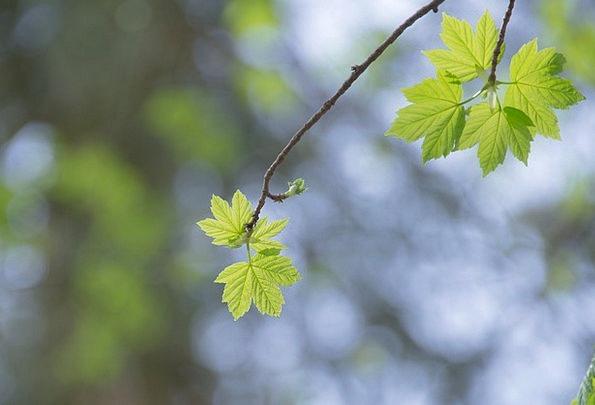 Maple Landscapes Nature Forest Woodland Maple Leaf