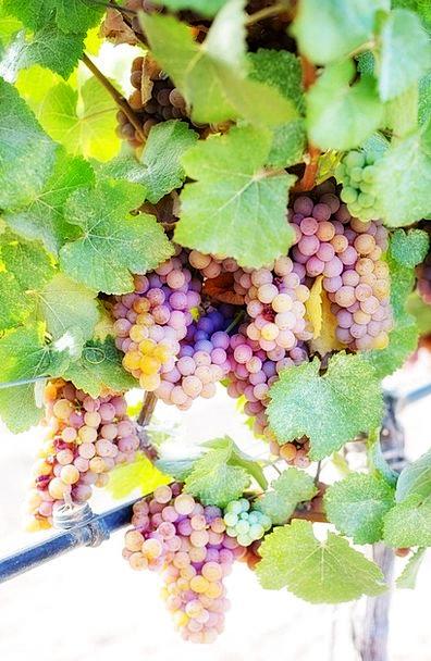 Wine Grapes Grapes White Grapes Vine Creeper Viney