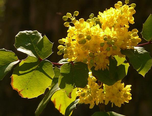 Ordinary Mahogany Mahonia Aquifolium Stechdornblät