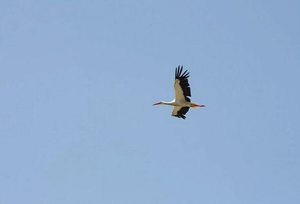 Stork Blue Flight Aeronautical Sky Birds Natures