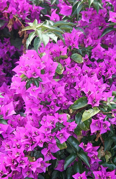 Bougainvilleas Florae Flowers Plants Bloom Flower