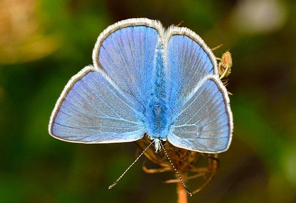 Butterflies Nerves Icarus Polyommatus