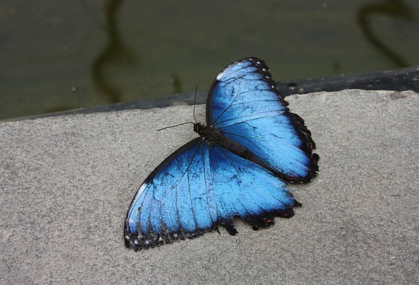Butterfly Nerves Flying Insect Blue Butterflies In