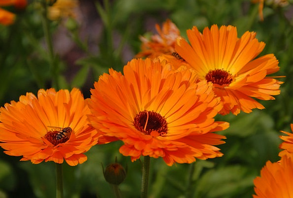 Gerbera Floret Orange Carroty Flower Garden Plot F