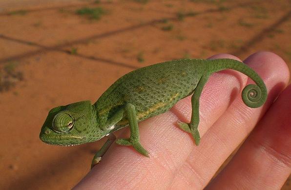 Chameleon Trimmer Lime Reptile Green Hand Pointer