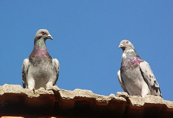 Pigeons Marks Buildings Rooftop Architecture Birds