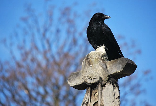 Raven Scoff Graveyard Cross Irritated Cemetery Blu