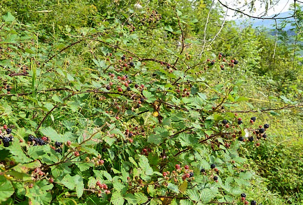 Blackberries Landscapes Woodland Nature Nature Cou