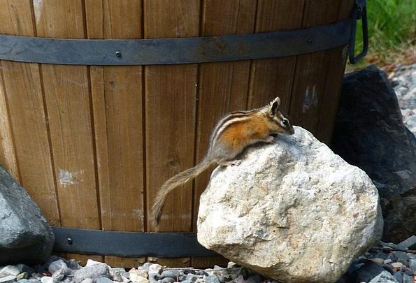 Chipmunk Collector Rident Squirrel Fauna Animal Ph
