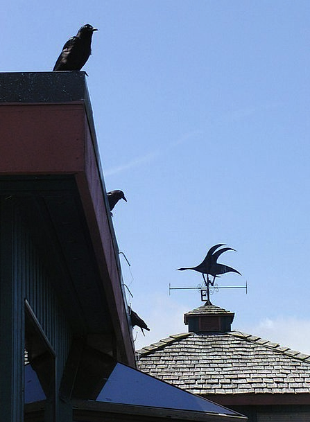 Crows Caws Buildings Rooftop Architecture Building