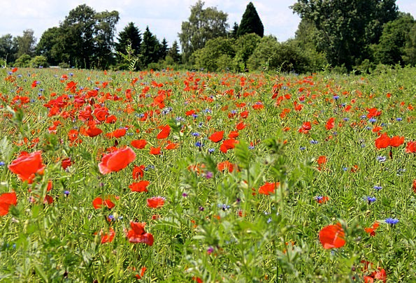 Flower Meadow Meadow Poppies Red Flowers Field Are