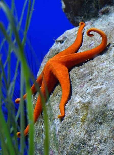 Starfish Bloodshot Aquarium Red Asteroidea Red Sta