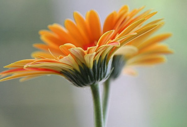 Daisy Floret Petal Flower Pure Bloom Tranquil Aqua