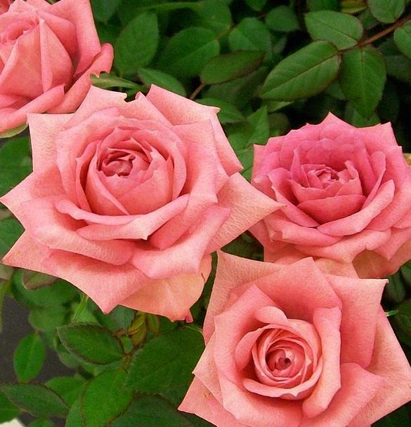 Roses Designs Flushed Romance Latin-based Pink Blo