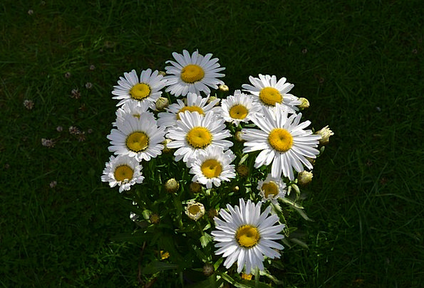 Daisy Flower Floret Daisies White Snowy Cottage Ga