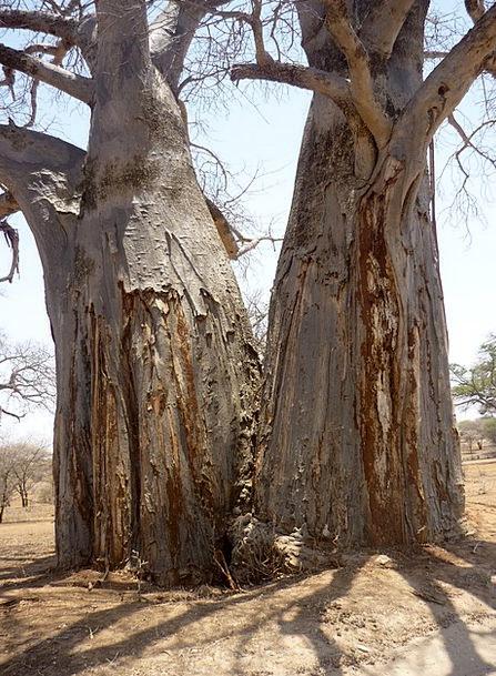 Tree Sapling Log Record Baobab Africa Duo Twin Sha