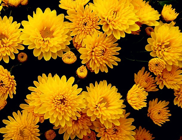 Chrysanthemums Landscapes Nature Yellow Creamy Flo