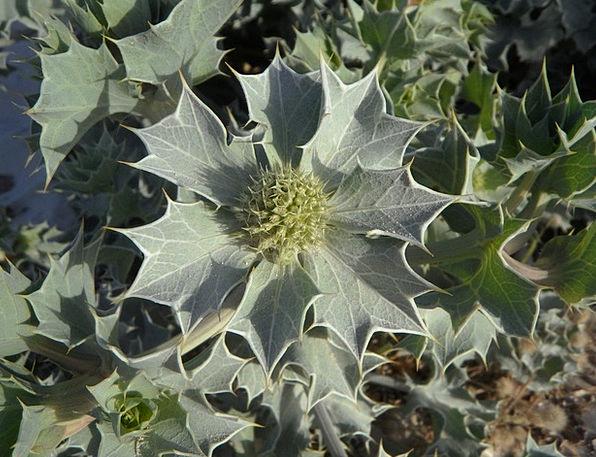 Holly Landscapes Vegetable Nature Dune Flora Plant