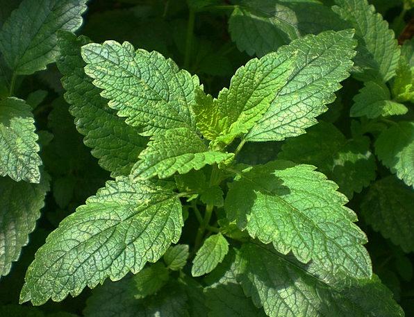 Balm Ointment Landscapes Nature Kitchen Herb Lemon